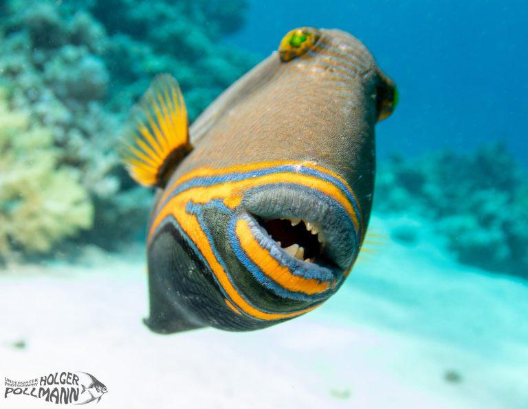 Orangestreifen- Drückerfisch Orange striped triggerfish Balistapus undulatus Quesier Egypt Red sea