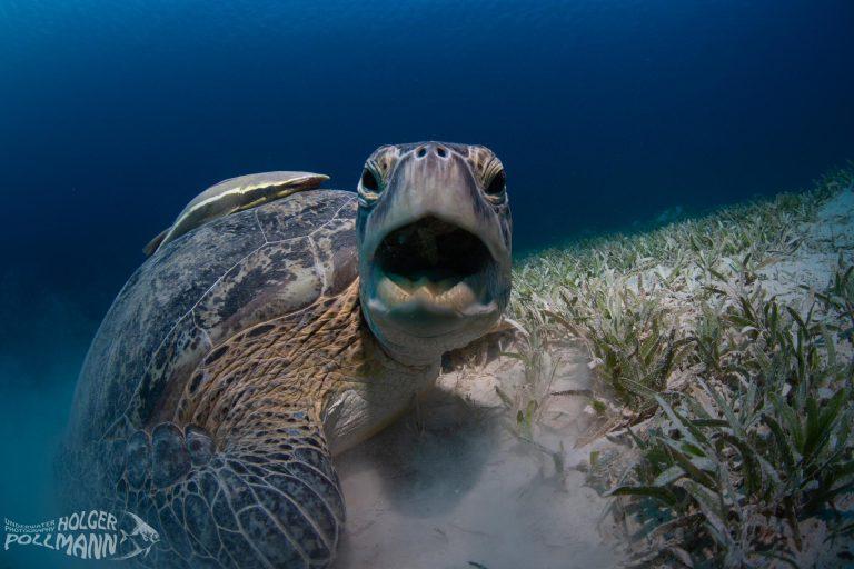 Suppenschildkröte,Green sea turtle, Chelonia mydas, Red Sea, Egypt