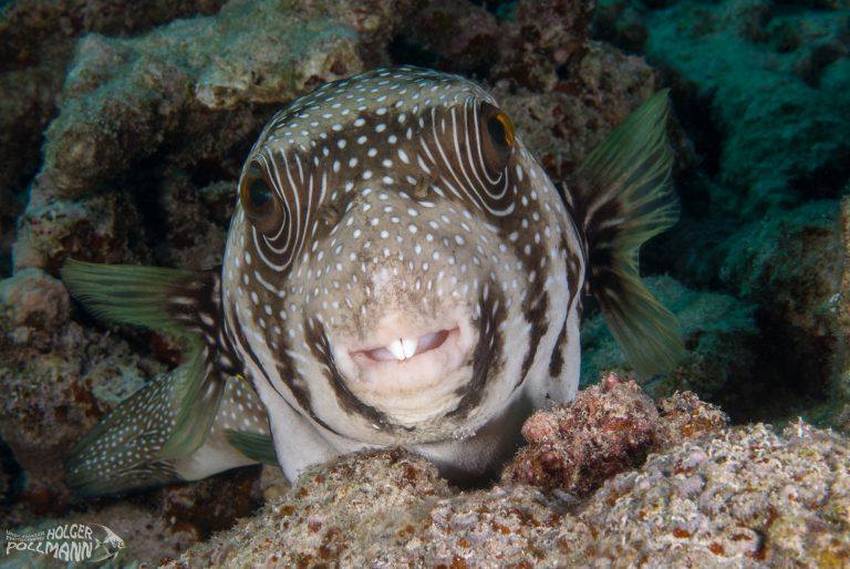 hp-underwaterphoto-Whitespotted puffer-Arothron hispidus-Safaga-Egypt-Red Sea